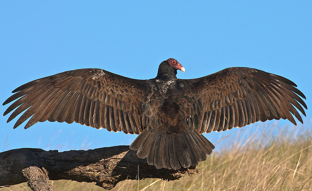 brown-feathered turkey vulture stands with wings spread out