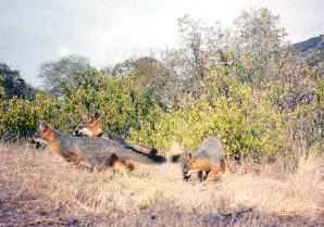 Orange and gray Island Fox with collar and two pups on dry grasses of Catalina Island