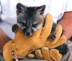 Small island fox pup held in gloved hands