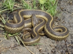 Tan and brown giant garter snake