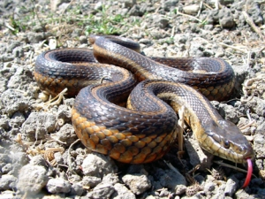 Brown and orange giant garter snake