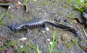 a dark gray salamander on wet dirt