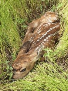 A fawn waits in the grass for its mother to return.