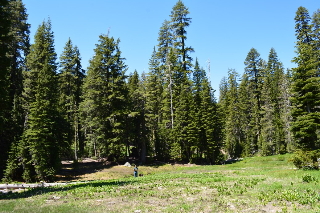 Green meadow in front of pine and fir trees