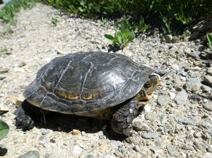 Western pond turtle on dry gravel