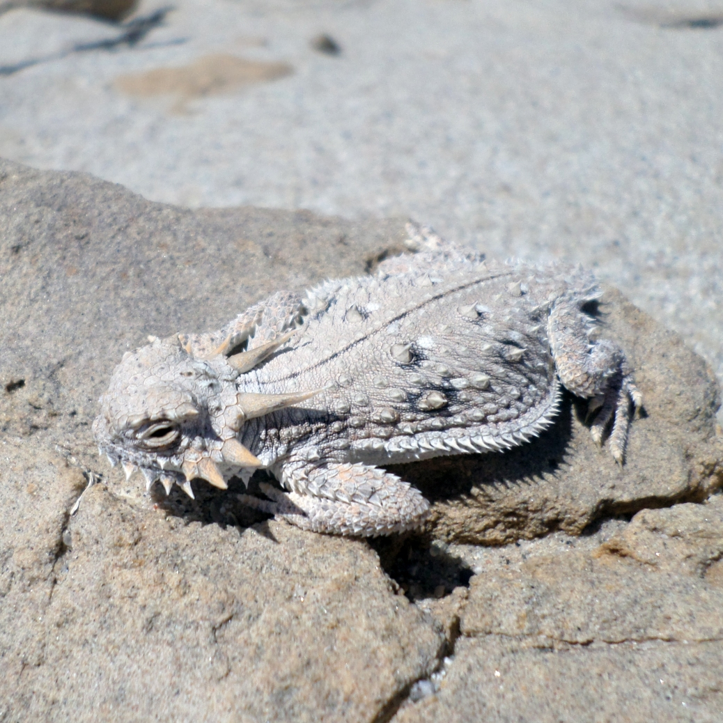 a flat-tailed horned lizard, only a little lighter gray than the desert rock it stands on