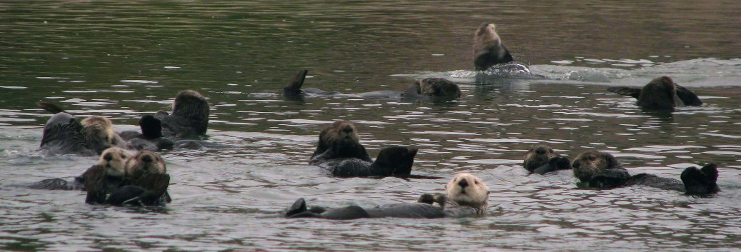 Eight California sea otters float in a kelp bed in Elkhorn Slough