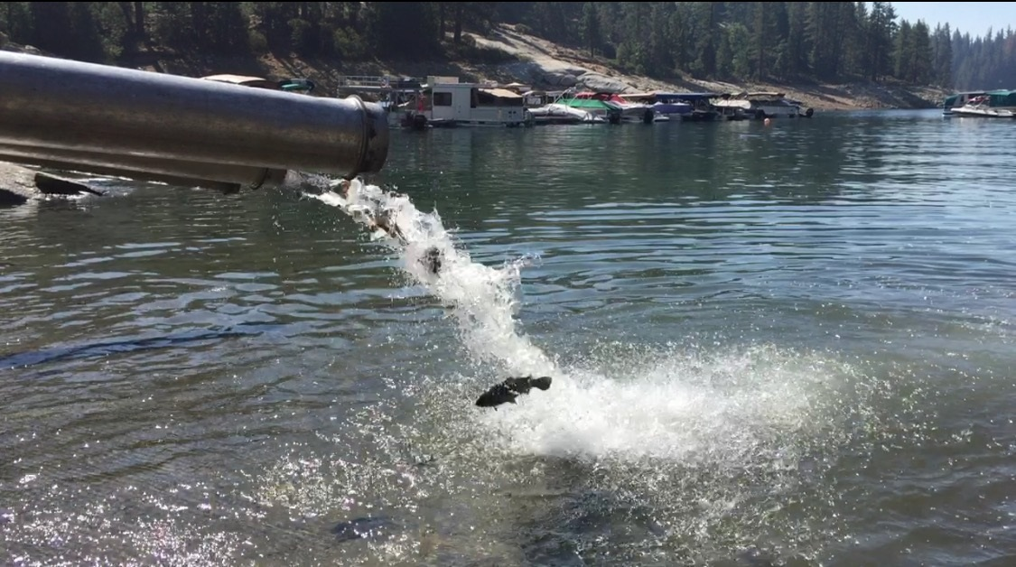 Drought prompts fish evacuation at san joaquin hatchery for Shaver lake fishing report