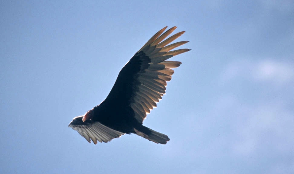 a turkey vulture in flight, blue sky background
