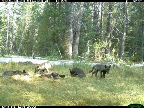 Photo shows wolf pups in northern california cdfw news for Ca dept of fish and wildlife