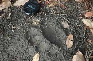 pawprint of California black bear in soil