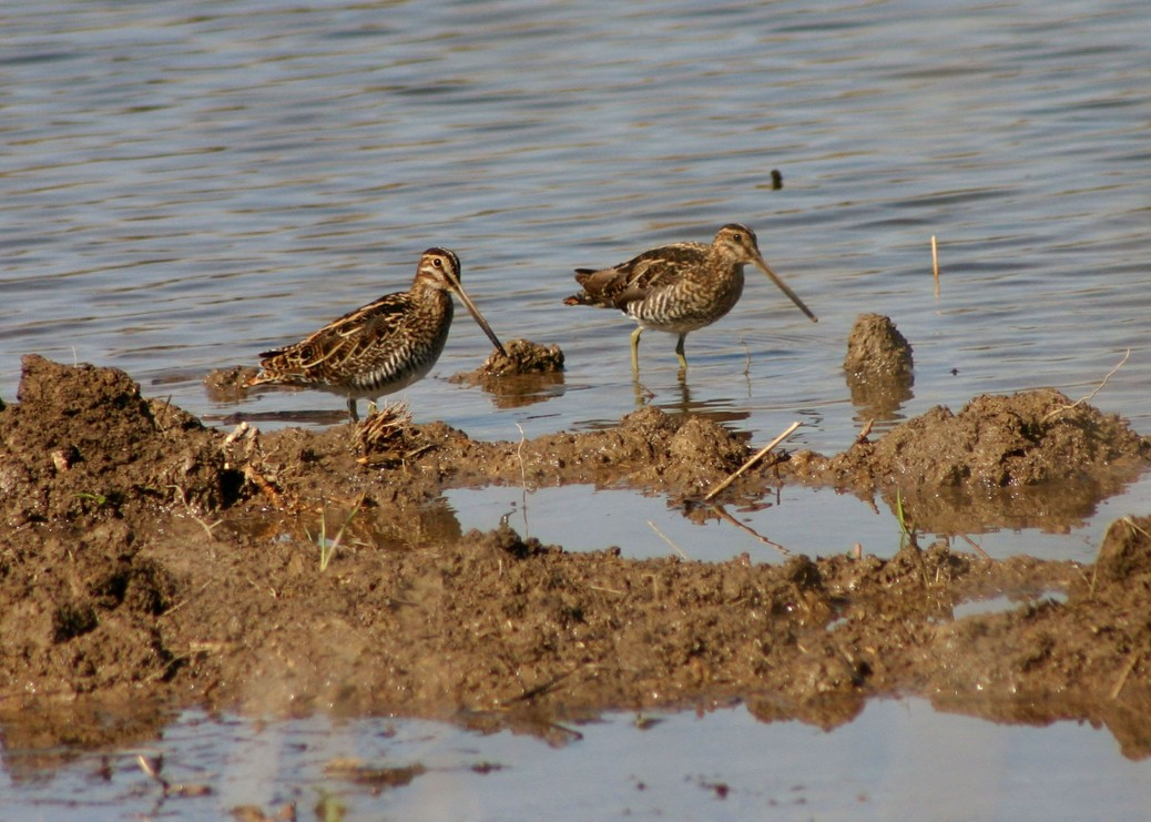 Snipe at Gray Lodge