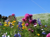 Hillside covered with orange, purple, pink and white wildflowers and native grass, under a clear blue sky