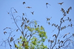 bank swallows in tree
