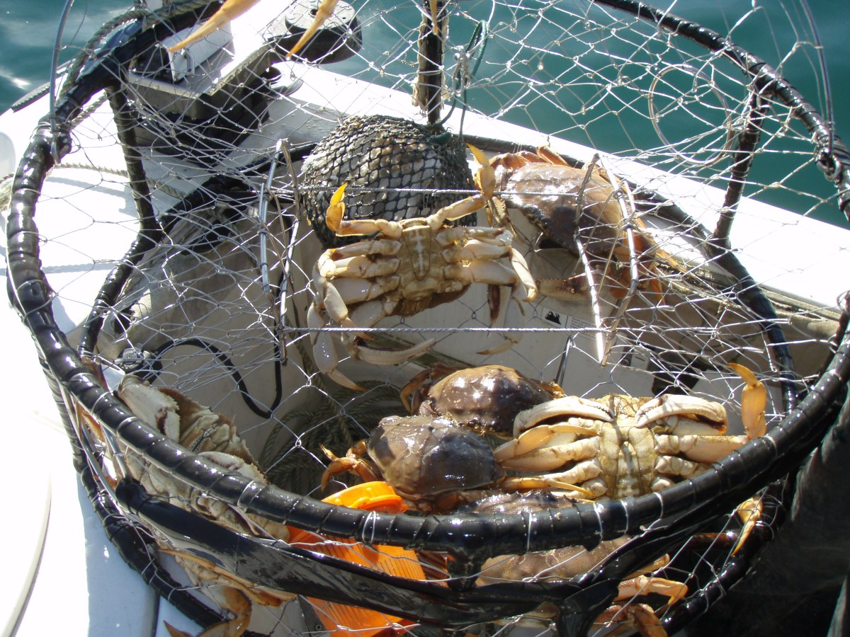Recreational dungeness crab fishery open south of sonoma for Crab fishing game