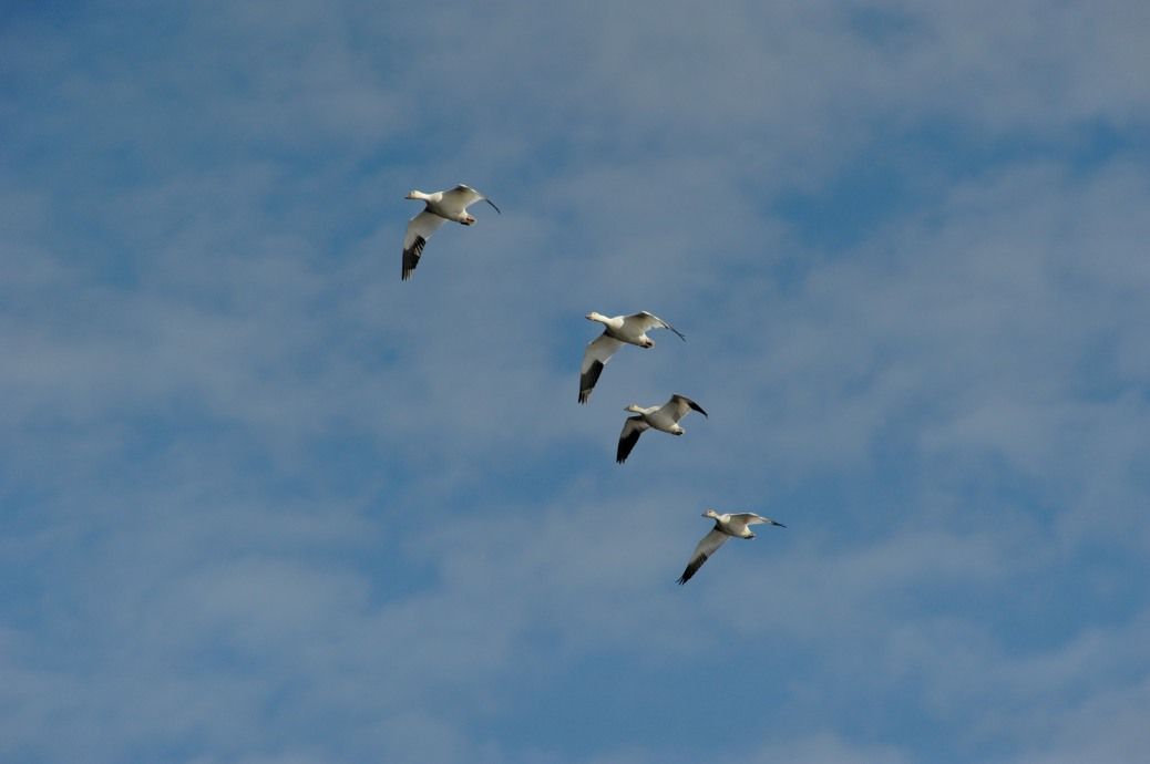 Lesser snow geese fly across the sky at the Sacramento National Wildlife Refuge.  CDFW photo by Debra Hamilton.