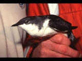 Adult Scripps's murrelet (formerly Xantus's), at Anacapa Island, CA. (2003)