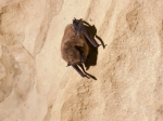 A healthy-looking Big Brown Bat (Eptesicus fuscus). Dave Riggs photo.