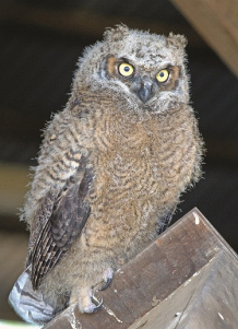 A juvenile great horned owl with fuzzy feathers, perched on a weathered board