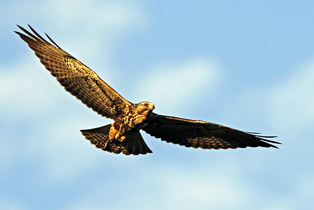 A gold and brown Swainson's hawk in flight against a blue sky