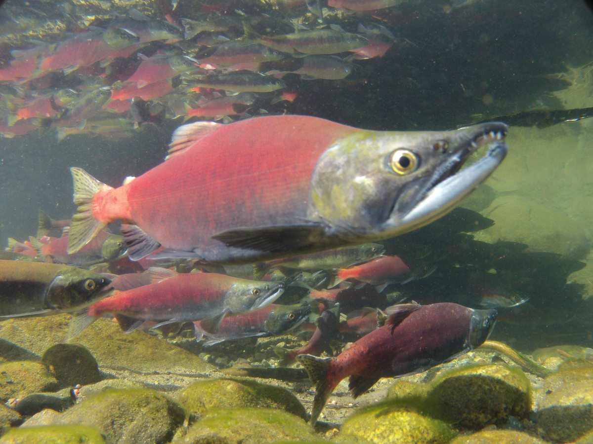 Kokanee fingerlings released into california lakes and for Fish stocking ca