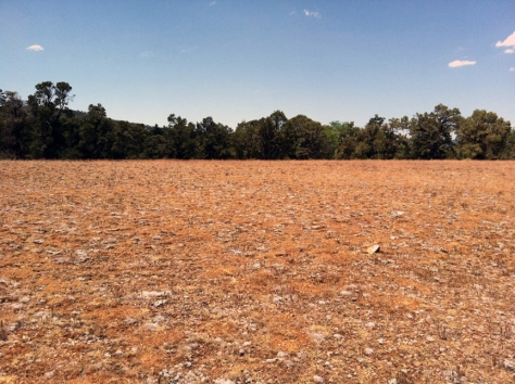 A rare, pebble plain habitat with goldend-dry vegetation in front of a green oak forest.