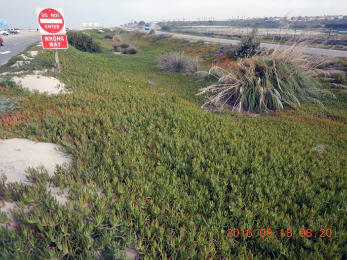 Green iceplant and pampas grass invade southern California coastal wetlands between two roads.