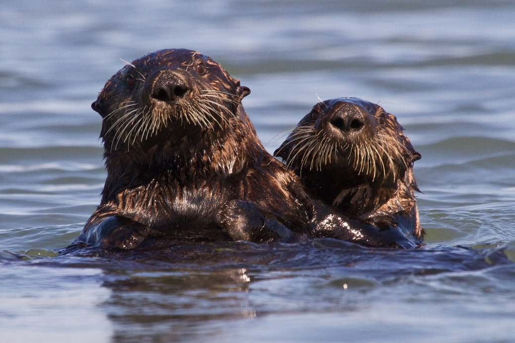 Two sea otters with head and shoulders visible ablve water