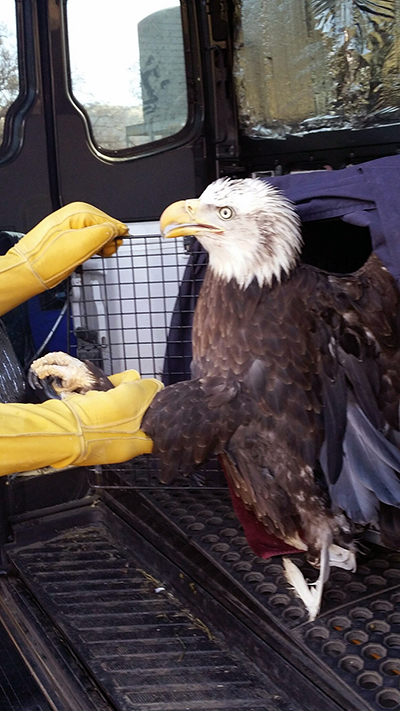 An adult bald eagle is taken from a large pet carrier, to be released.