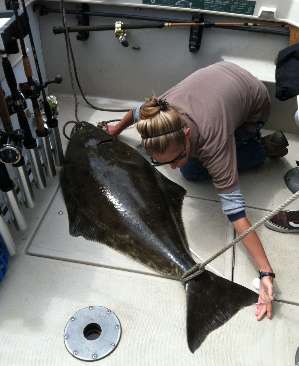Pacific halibut being measured