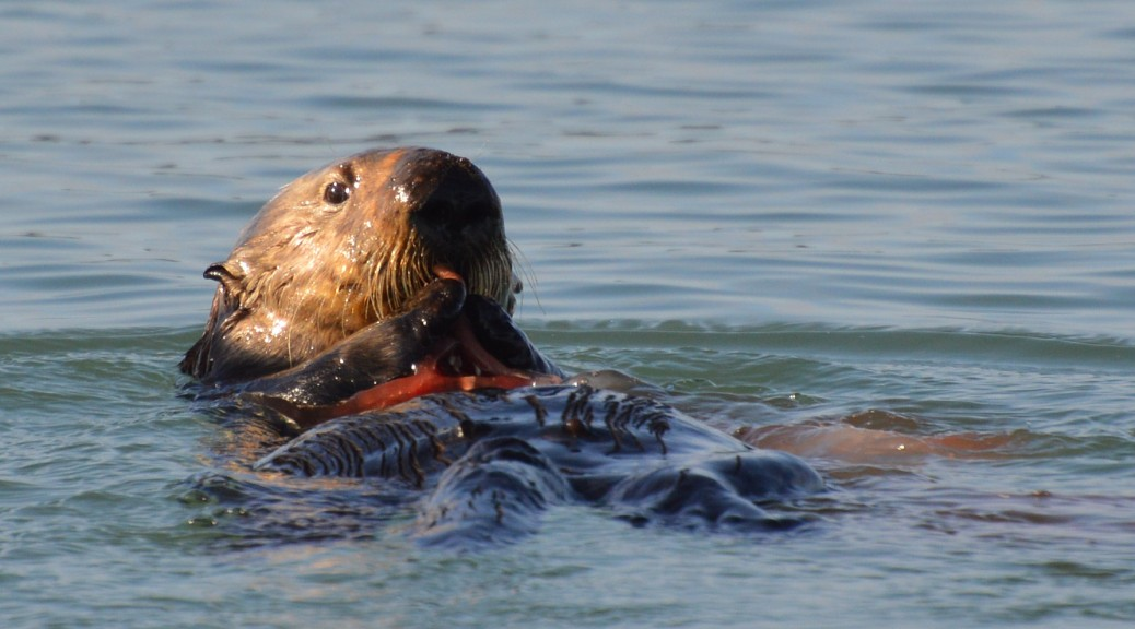 2fb00720 California Sea Otter Numbers Take a Slight Dip From Last Year, but Average  Count Exceeds 3,090 for Third Consecutive Year