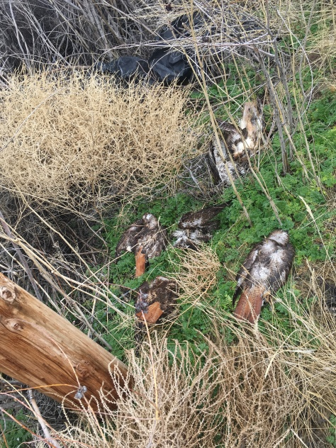 Dead birds at bottom of roost