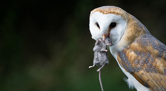 A barn owl holds a small rat by the neck, in its beak