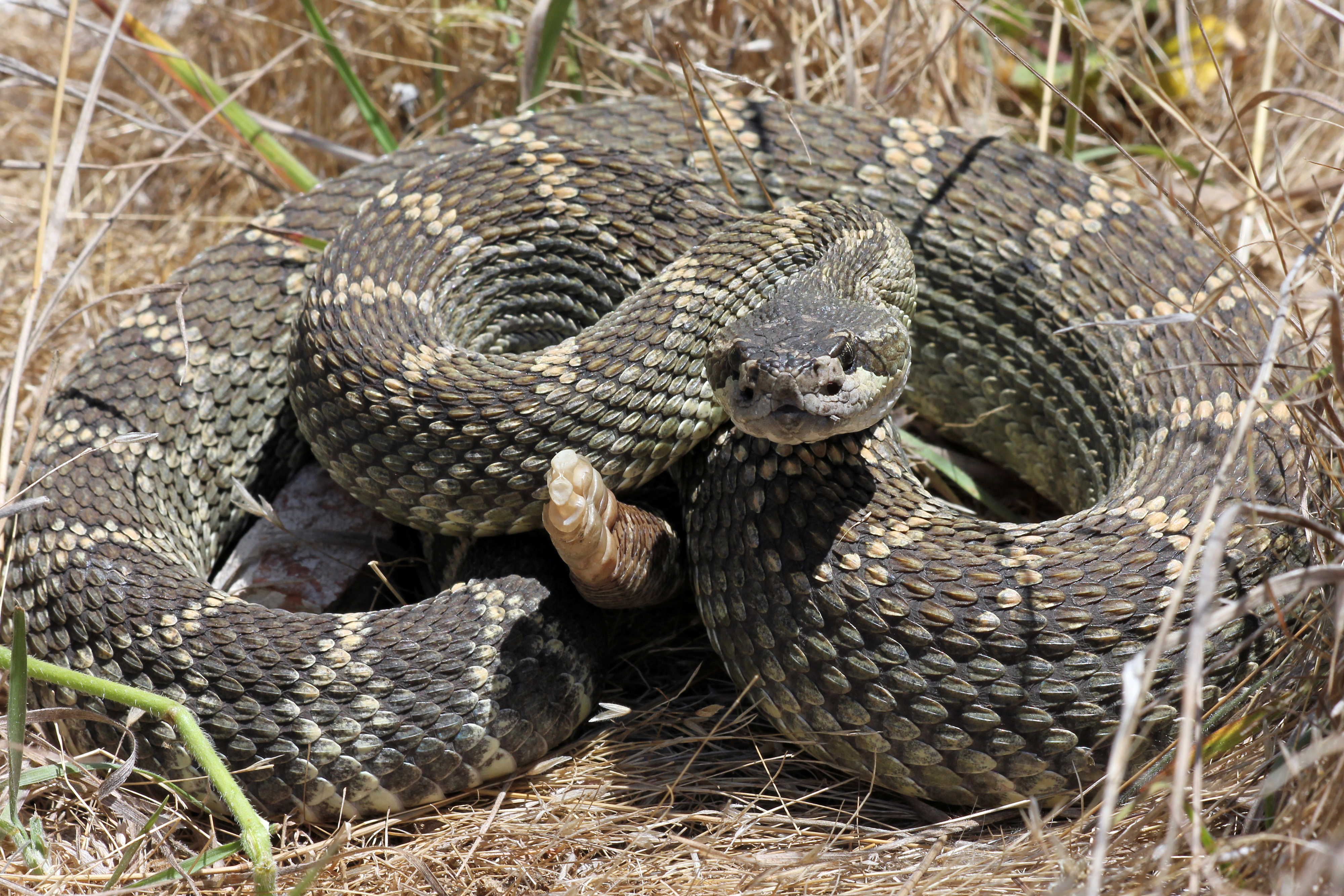 Cdfw Offers Tips For Steering Clear Of Rattlesnakes As The Weather Warms Up Cdfw News,Types Of Cacti With Pictures
