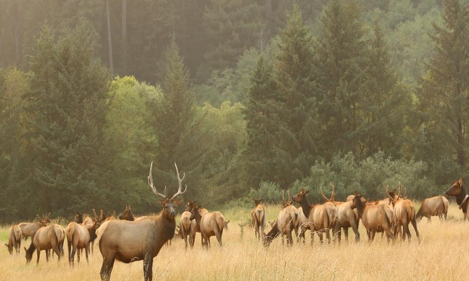 North Coast Roosevelt elk herd