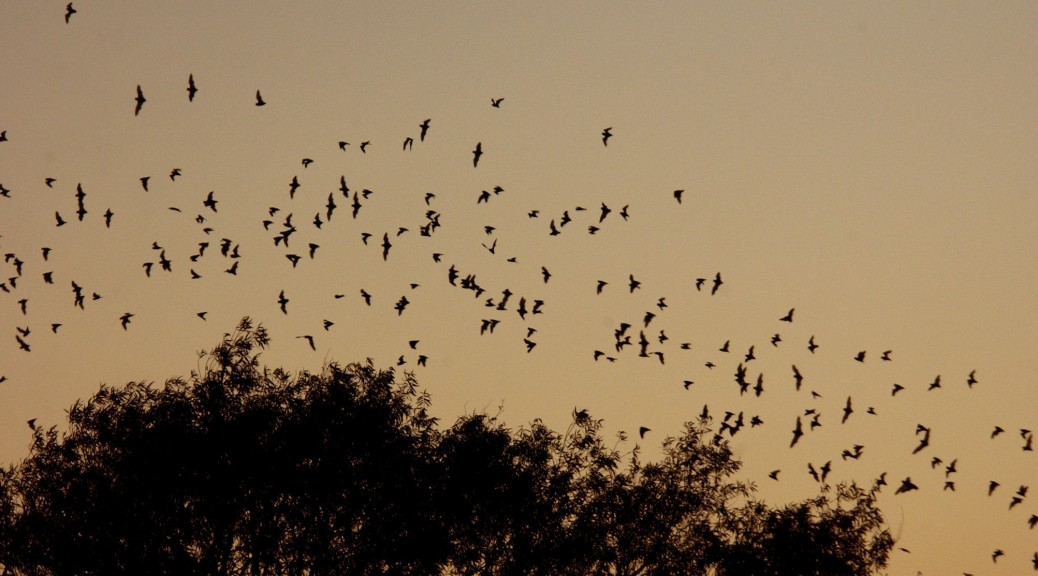Bat flyout at Yolo Bypass Wildlife Area