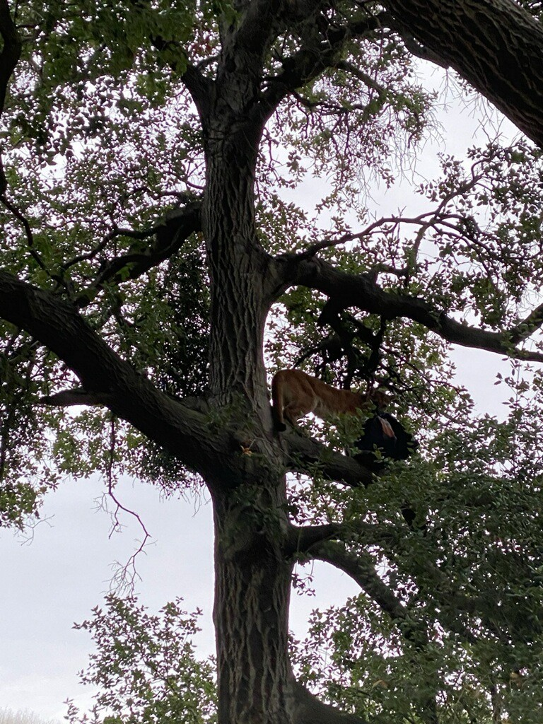 mountain lion in tree with backpack