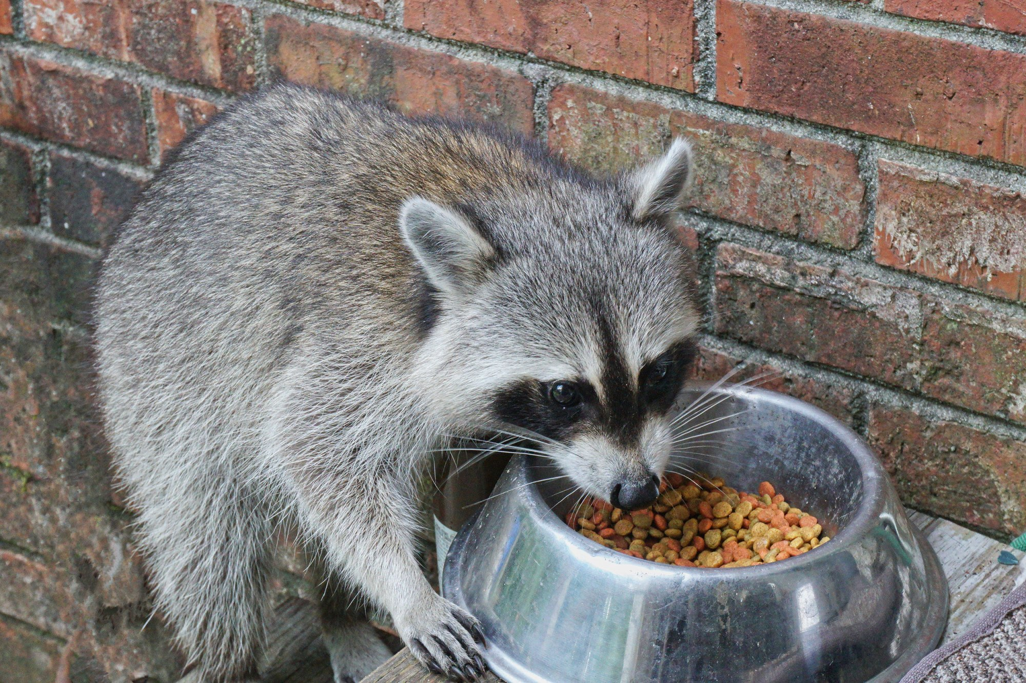 raccoon eating from a dog bowl