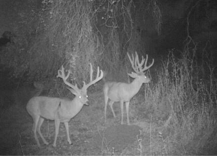 bucks in front of bait pile
