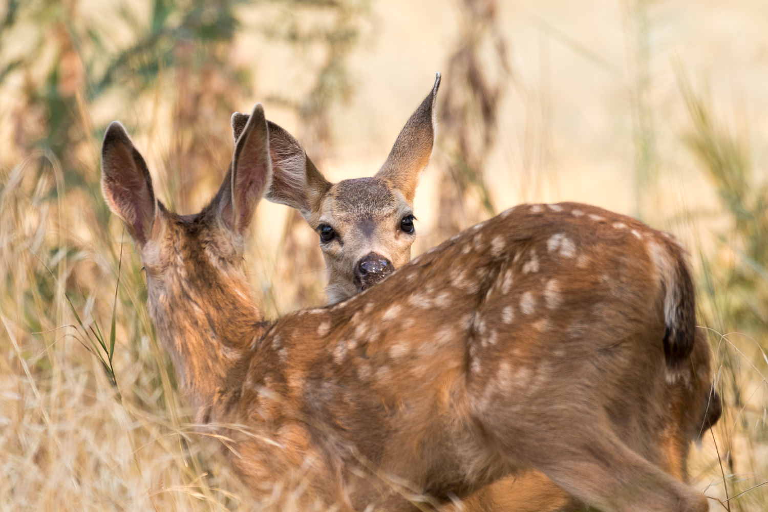 Two deer fawns