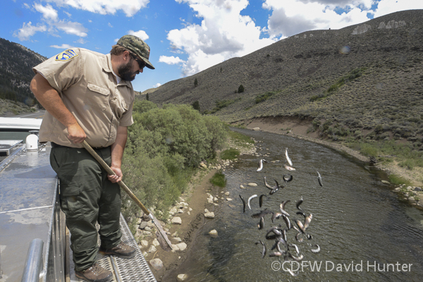 CDFW employee stocking eastern Sierra waters with trout