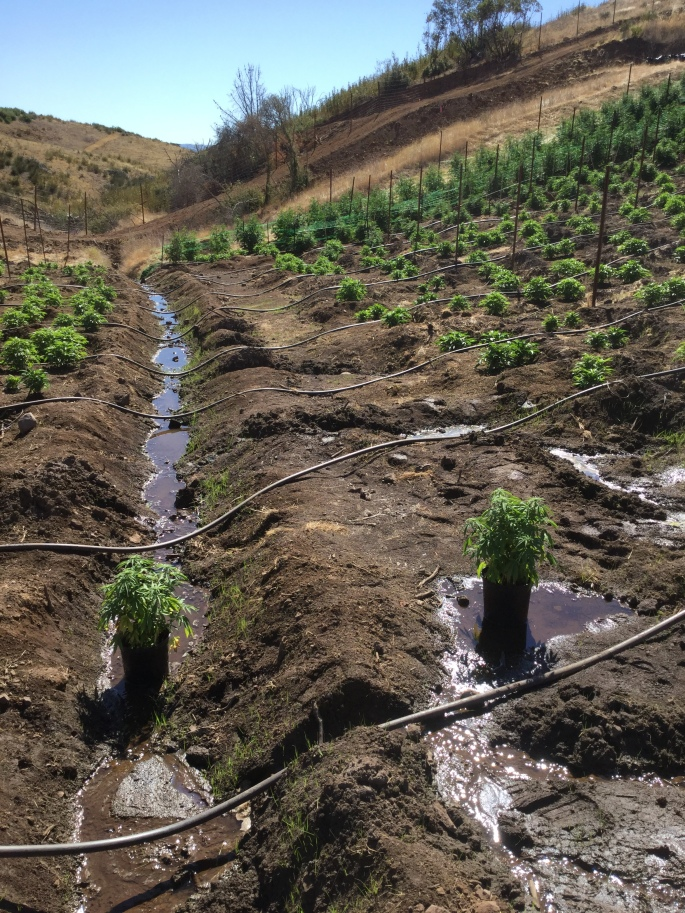 outdoor cannabis cultivation with irrigation hoses