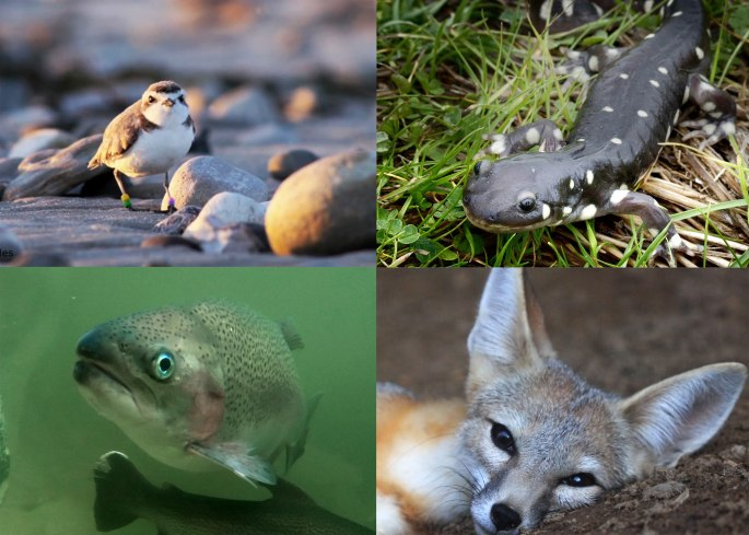 Images of a western snowy plover, a California tiger salamander, a Coho salmon, and a San Joaquin kit fox